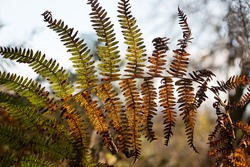 Bracken fern fronds, Pteridium aquilinum, turning yellow and brown in autumn against a grey sky background