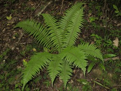 Bracken fern plant  in Wet forest in spring. Pteridium aquilinum. Green fern in Gilan, Iran. Medicinal plant, analgesic, anti-worm and Useful for rheumatism.