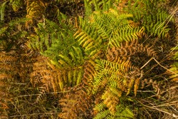 Bracken in early autumn colours at Woodend, East Lothian, Scotland.