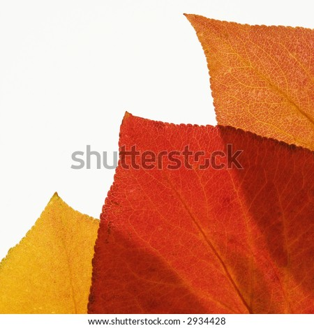 Bradford Pear leaves in Fall color against white background.