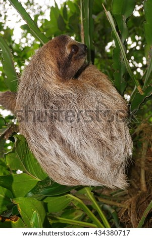 Bradypus variegatus, three-toed sloth wild animal in the jungle of Costa Rica, Central America