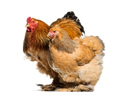 Brahma hen and rooster, standing against white background