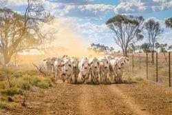 Brahman cattle coming up a dusty road landscape in outback Australia.