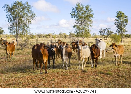 Brahman cattle in outback Queensland mixed colours