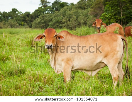 Brahman cattle in Queensland Australia - stock photo