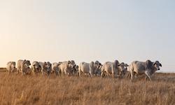 Brahman Cattle walking in the morning sunlight