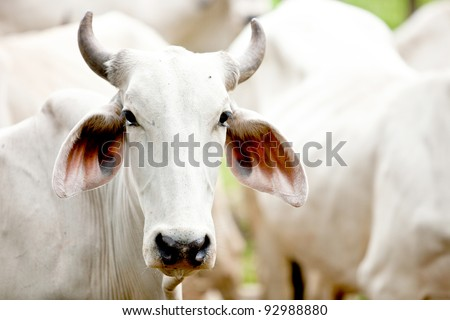 Brahman cow at a cattle farm or ranch