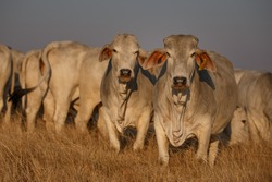 Brahman cow herd in the field at sunset