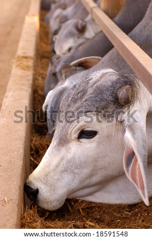 Brahmans at a feeding pen with selective focus