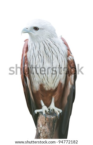 Brahminy Kite on white with clipping path Red-backed Sea Eagle)