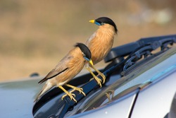 Brahminy Myna are domestic birds and they reaction sometimes is funny. This two birds behave strange looking to their reflection in car windshield.