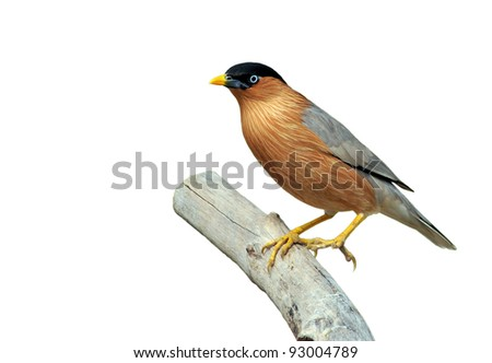 Starling Bird Symbolism Brahminy Starling Bird