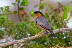 Brahminy Starling bird is standing on the log and stare for preys in a soft  background. With selective focus