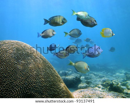 Brain coral in the Caribbean sea with a school of reef fish