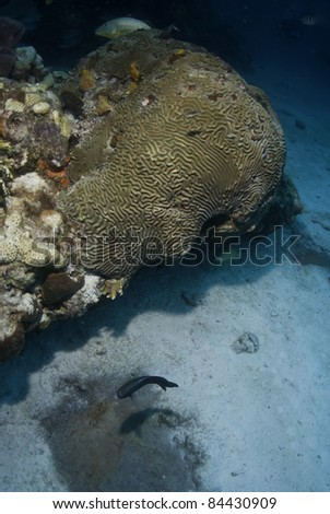 Brain coral with damsel fish