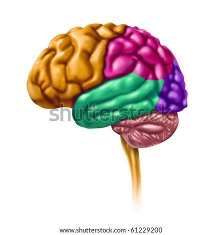 Brain lobes intelligence neurology isolated