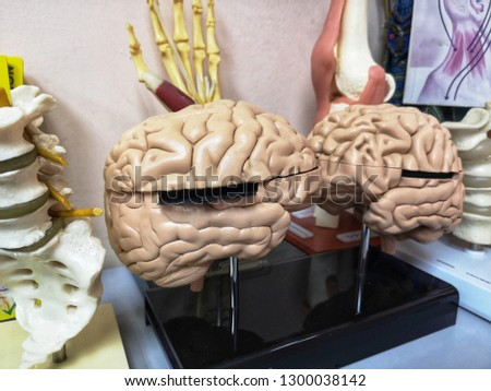 Brain model for learning and education of medical science