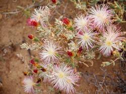 Brakveldwitvygie or brackish veld white mesemb (Aridaria noctiflora). Western Cape. South Africa
