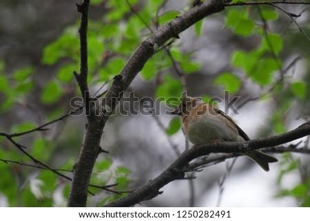 bramble finch (Fringilla montifringilla), female in breeding plumage, mixed forests of Scandinavia