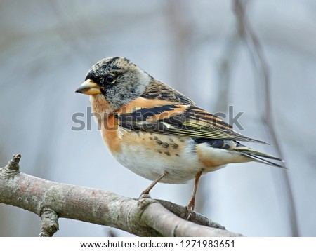 Brambling (Fringilla montifringilla) in its natural habitat in Denmark