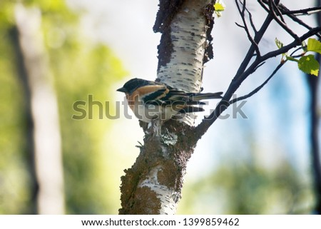 Brambling (Fringilla montifringilla) male during the mating period. The most typical bird of the Northern taiga in Scandinavia and Siberia