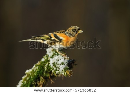 Brambling, Fringilla montifringilla, single male on branch, Slovakia. Male brambling perched on amoss branch in winter.  Brambling on a tree branch in winter day,  dark forest background.