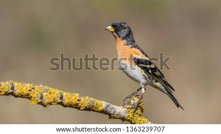 Brambling male sits on a narrow branch
