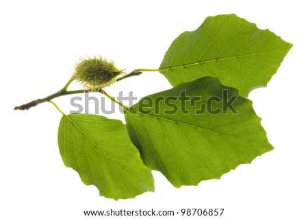 branch and beech leaf isolated over white background