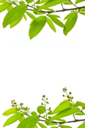 branch and green leaves on white background