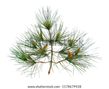 Branch and twigs of Aleppo pine isolated on white background.            #1178679928