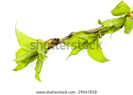 Branch aspen tree with spring buds isolated on white