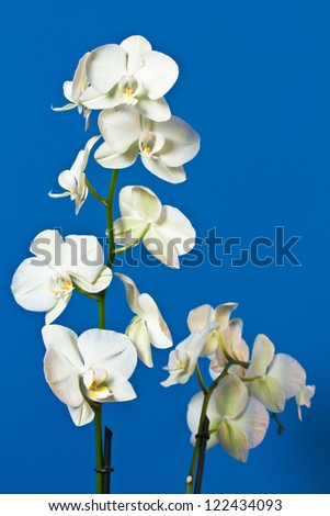 branch beautiful orchids on a blue background