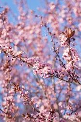 Branch Beautiful Pink Cherry Plum, Prunus Cerasifera Nigra, blooming in early spring. Decorative Landscape Design Tree.