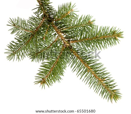 branch fir-tree, isolated with clipping path