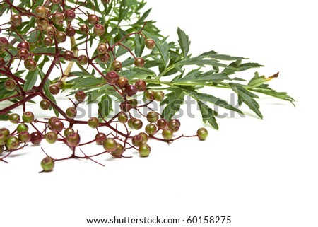 Branch from elder laden with ripe berries isolated on white.