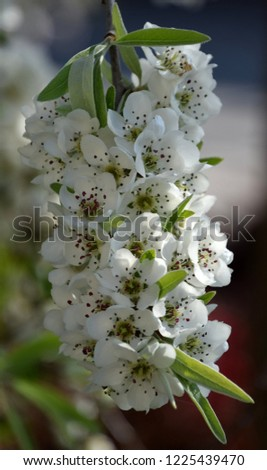 branch in bloom, white blooms on tree at spring #1225439470
