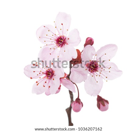 Branch in blossom (Plum) isolated on white background.