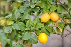 branch lemons