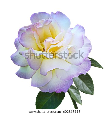 Branch-let with beautiful Flower of rose Gloria Dei isolated on white #602815115