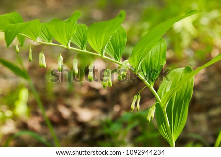 Branch of a blooming Solomon's seal. Polygonatum (Polygonatum odoratum) also known as King Solomon's-seal or Solomon's seal.