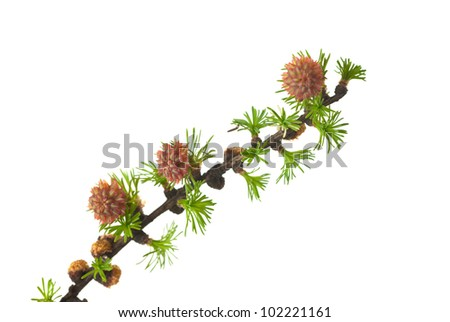 branch of a blossoming larch in the spring, isolated