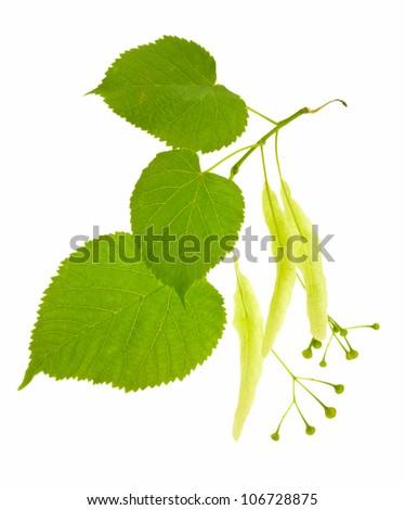 Branch of a blossoming linden with green leaves isolated on a white background.