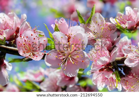 branch of a blossoming peach tree close-up on blurred background ideal as a floral wallpapers