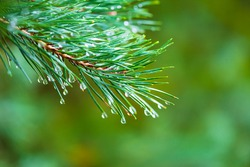 Branch of a coniferous tree with drops of water.