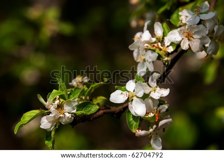 branch of a flowering apple tree, can be used as a background