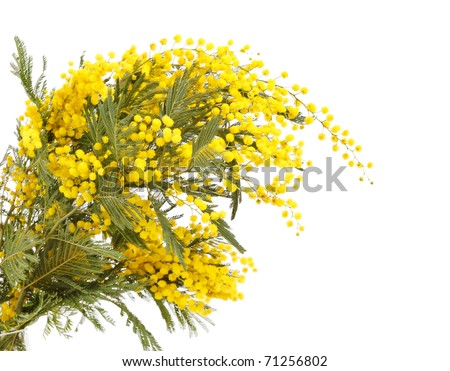 branch of a mimosa on a white background