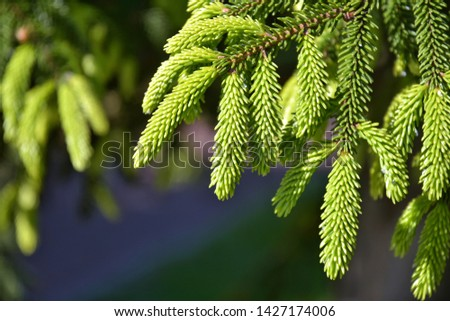 Branch of a pine tree with new evergreen needless on blurred background, selective focus. Beautiful spruce branch with new green needles on a sunny day. Christmas symbol. Fir branchlet