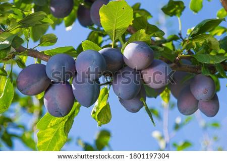 Branch of a plum tree, fruits detail Сток-фото ©