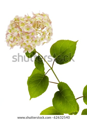Branch of a rare flower of a pink Hydrangea. Isolated on white.