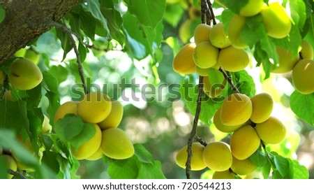 Branch of a tree studded with apricot fruit stock photo